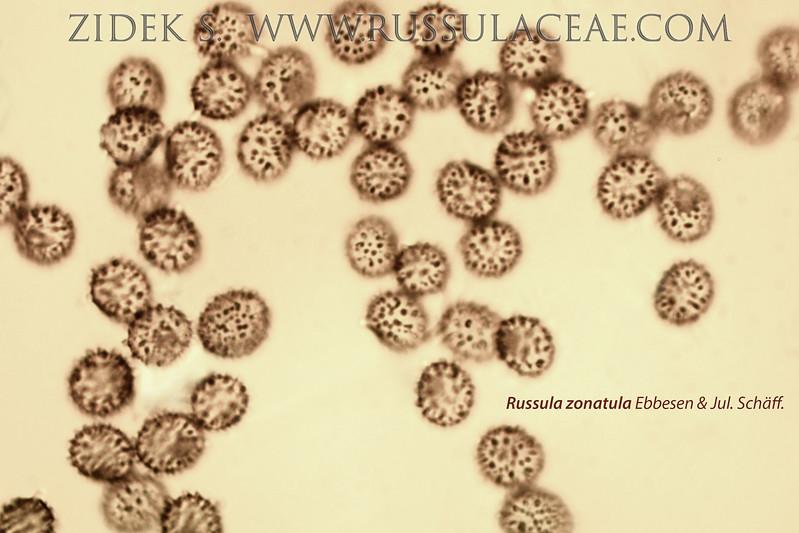 Russula zonatula - plávka pásikavá
