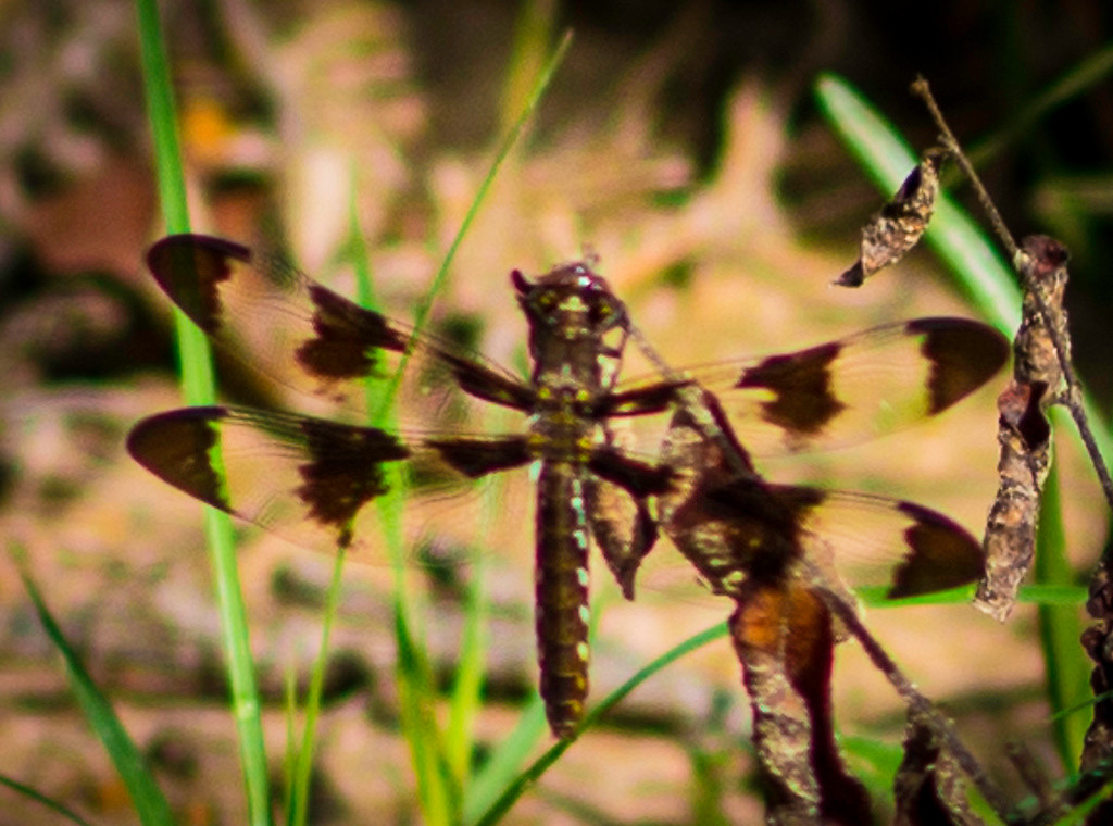 dragonfly1-0513