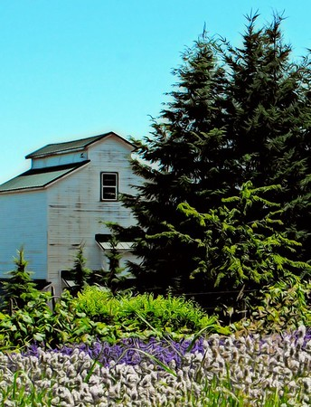 White Barn and Lavender