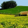 Mustard field in bloom, with Napa Valley vineyards in background, Marin County. [UFP 022009]