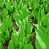 Soon-to-bloom tulips in Boston Public Garden. Special graphic effect applied. [UFP041411]