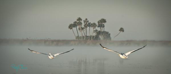 Chassahowitzka White Pelicans