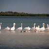 White Pelicans, Sarasota Bay