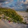 Wildflowers adorn a dune on a Longboat Pass Beach