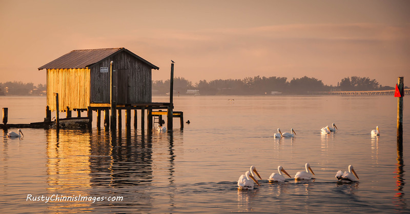 White Pelicans glide past an old stilt ice house in the Village of Cortez