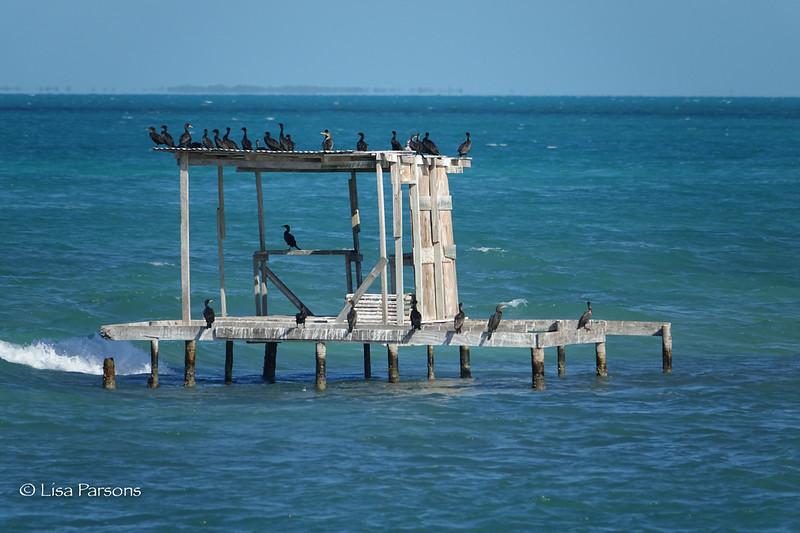 A Gaggle of Cormorants