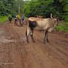 Free Range Cows