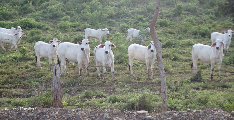 White Cows
