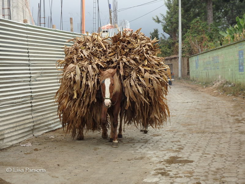 Corn Stocks Carried by a Horse