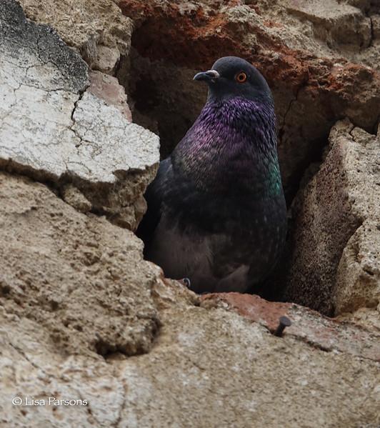 Purple Pigeon