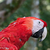 Close-up of Red Macaw