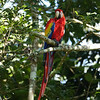 Red Macaw II