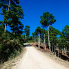 Road Through Pine Forest