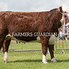 Rutland County Show 2018<br /> Hereford Champion Newtoncroft 1 Bluebell owned by Newtoncroft Farms<br /> ©Tim Scrivener Photographer 07850 303986<br /> ....Covering Agriculture In The UK....