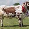Rutland County Show 2018<br /> Longhorn Champion and Reserve Junior Champion Riverlands Quinine owned by R & V Burton <br /> ©Tim Scrivener Photographer 07850 303986<br /> ....Covering Agriculture In The UK....