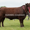 Rutland County Show 2018<br /> Lincoln Red champion Donnington Jessie Viz owned by Edward Middleton<br /> ©Tim Scrivener Photographer 07850 303986<br /> ....Covering Agriculture In The UK....