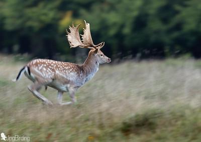 Fallow deer ... the run
