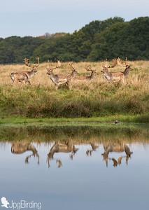 Fallow deer... the mirror