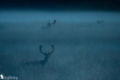 Fallow deer over the fog