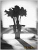 Narcisy / Daffodils. Foto: Josef Sudek ;-)