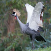 Gray Crowned Crane stretching its wings