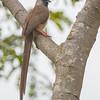 Speckled Mousebird at Brunda Eco-Park
