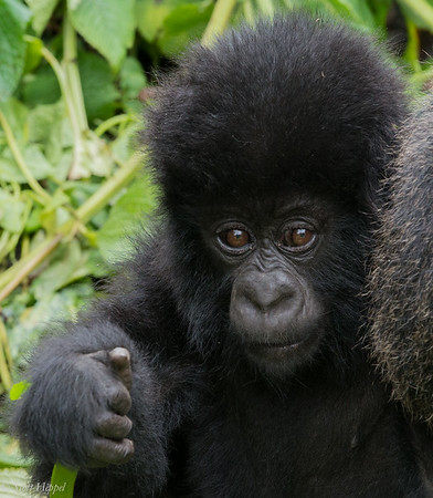 Hirwa Group baby gorilla