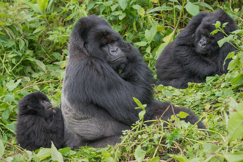 Hirwa Group silverback with juvenile and female at mid-day rest