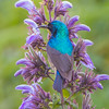 Variable Sunbird, male