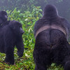 Hirwa Group Silverback with one of his females and her baby
