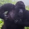 Pounding his chest, Hirwa blacbjack (non-breeding male)