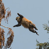 Golden Monkey jumping between trees; his long tail is up over his back.