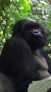 Silverback is stoic, watching the baby