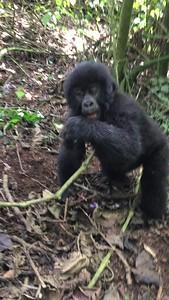 Baby mountain gorilla frolicking