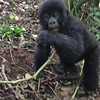 Baby mountain gorilla frolicking