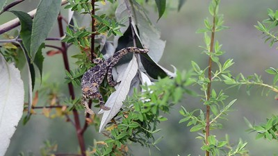 Rwenzori Bearded Mountain Dwarf Chameleon