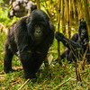 Africa. Rwanda. Juvenile mountain gorilla (Gorilla gorilla) at Volcanoes NP, site of the largest remaining group of mountain gorillas in the world.