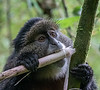 Young golden monkey eating