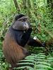 Golden monkey eating bamboo