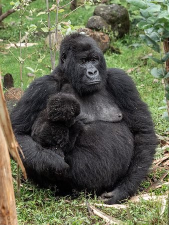 Female gorilla with infant