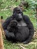 Female gorilla with infant