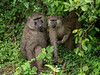 Baboon couple