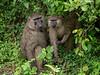 Baboon couple