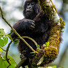 Africa. Rwanda. Female  mountain gorilla (Gorilla gorilla) at Volcanoes NP, site of the largest remaining group of mountain gorillas in the world.