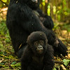 Africa. Rwanda. A silverback, or male mountain gorilla (Gorilla gorilla) with a juvenile at Volcanoes NP, site of the largest remaining group of mountain gorillas in the world.