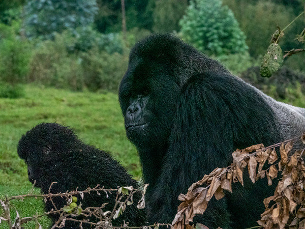 Silverback with baby gorilla