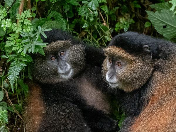 Golden monkey playmates