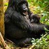 Africa. Rwanda. Female  mountain gorilla (Gorilla gorilla) with baby at Volcanoes NP, site of the largest remaining group of mountain gorillas in the world.