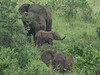 Baby elephant with the herd