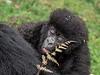 Infant gorilla